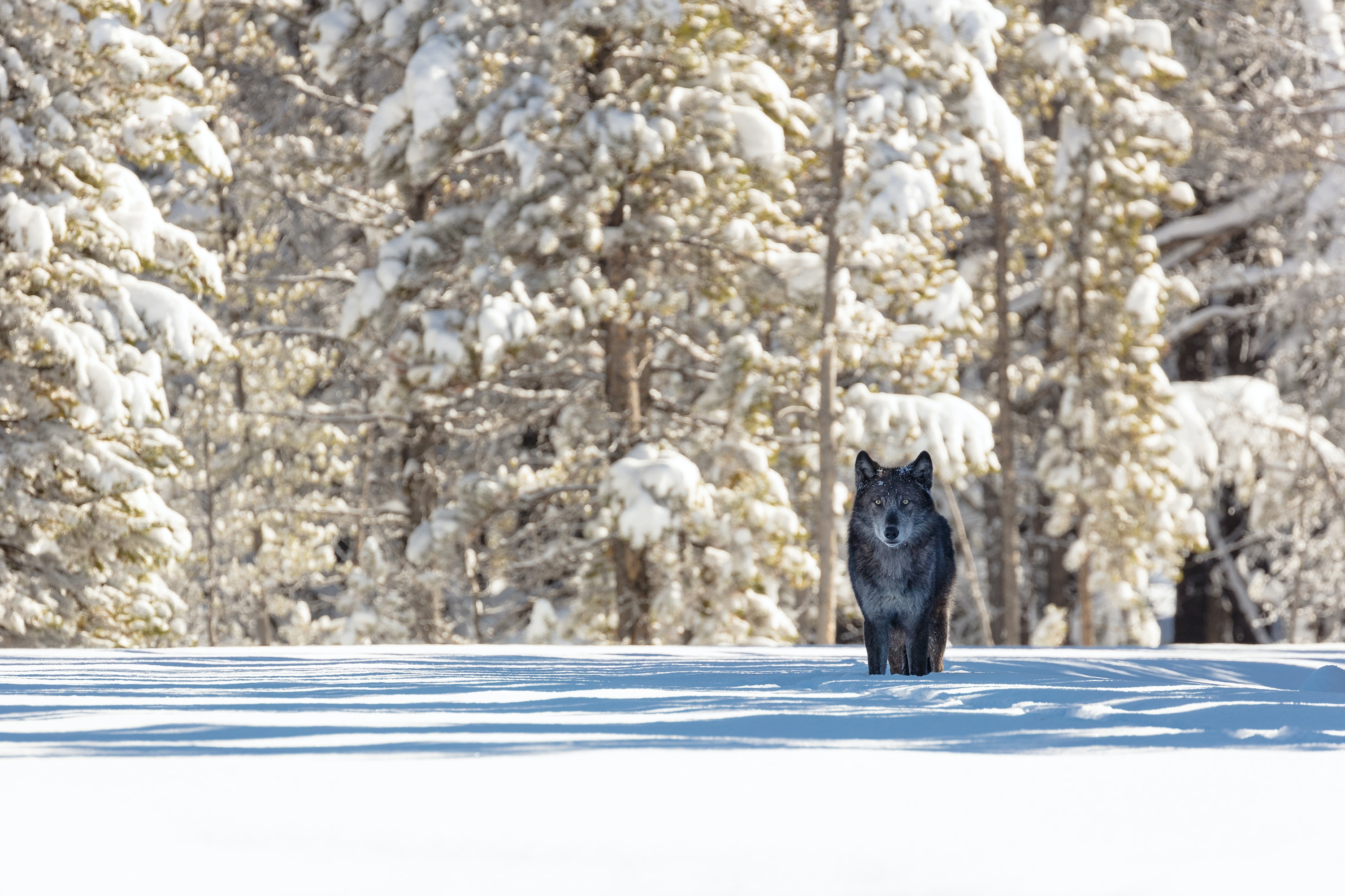 Wolves, bison, elk, and other animals come down off the mountains and into the valleys of Yellowstone during winter.