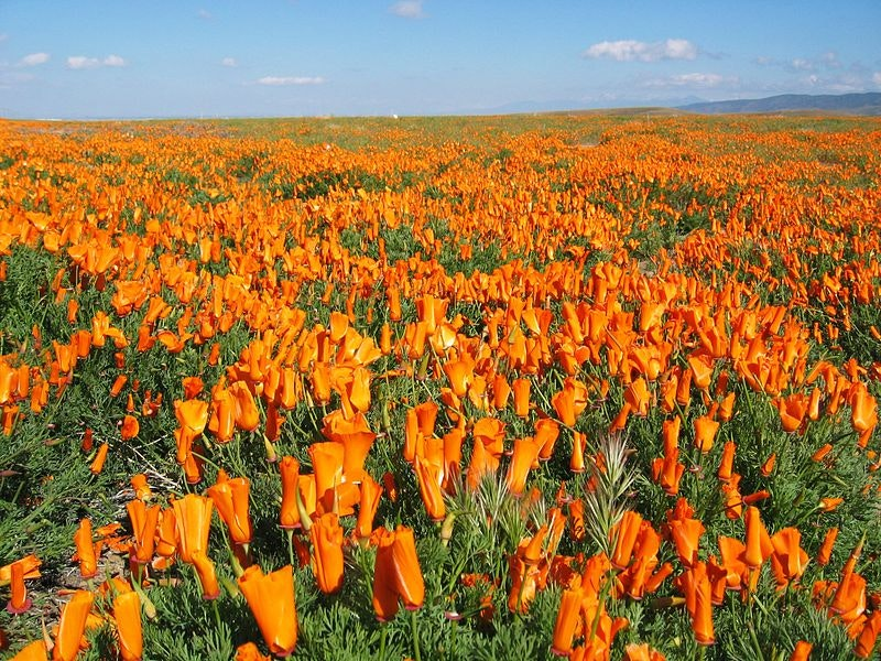 Just a 90-minute drive from Los Angeles, this 1,800-acre California poppy reserve offers a vibrant springtime escape from the city.