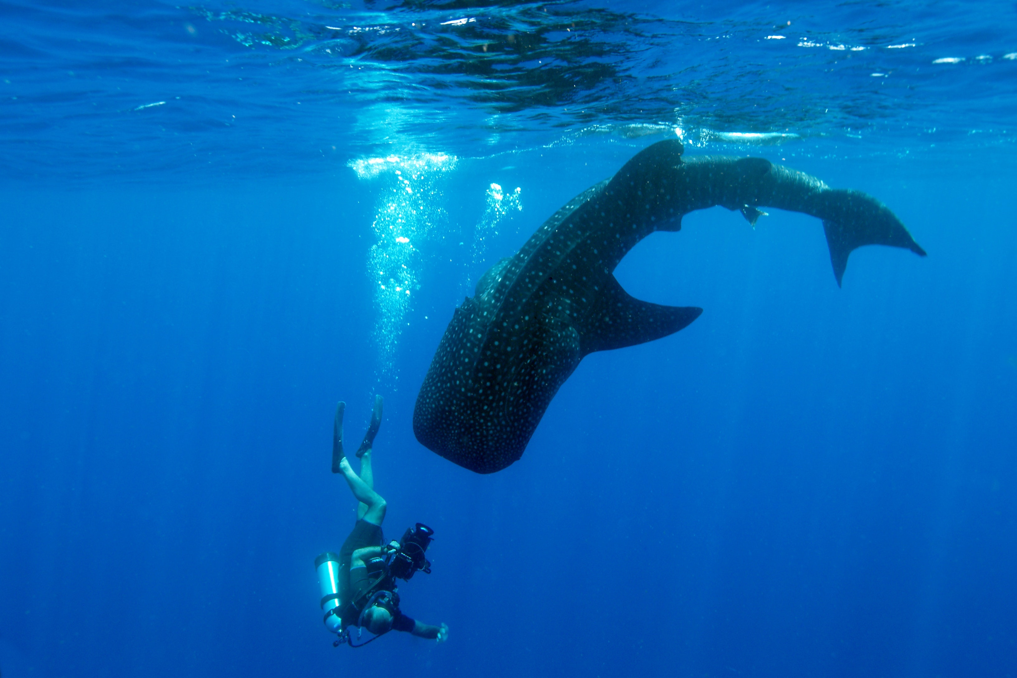 A diver and a whale shark do an underwater dance in Belize.