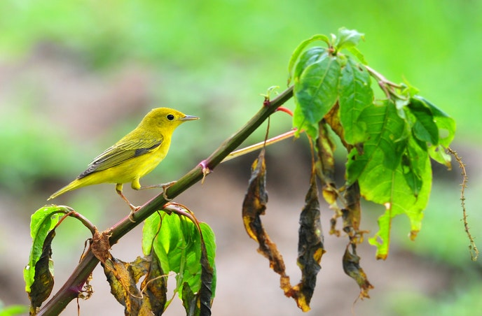 Book an UnCruise Adventures sailing to see species such as the yellow warbler.
