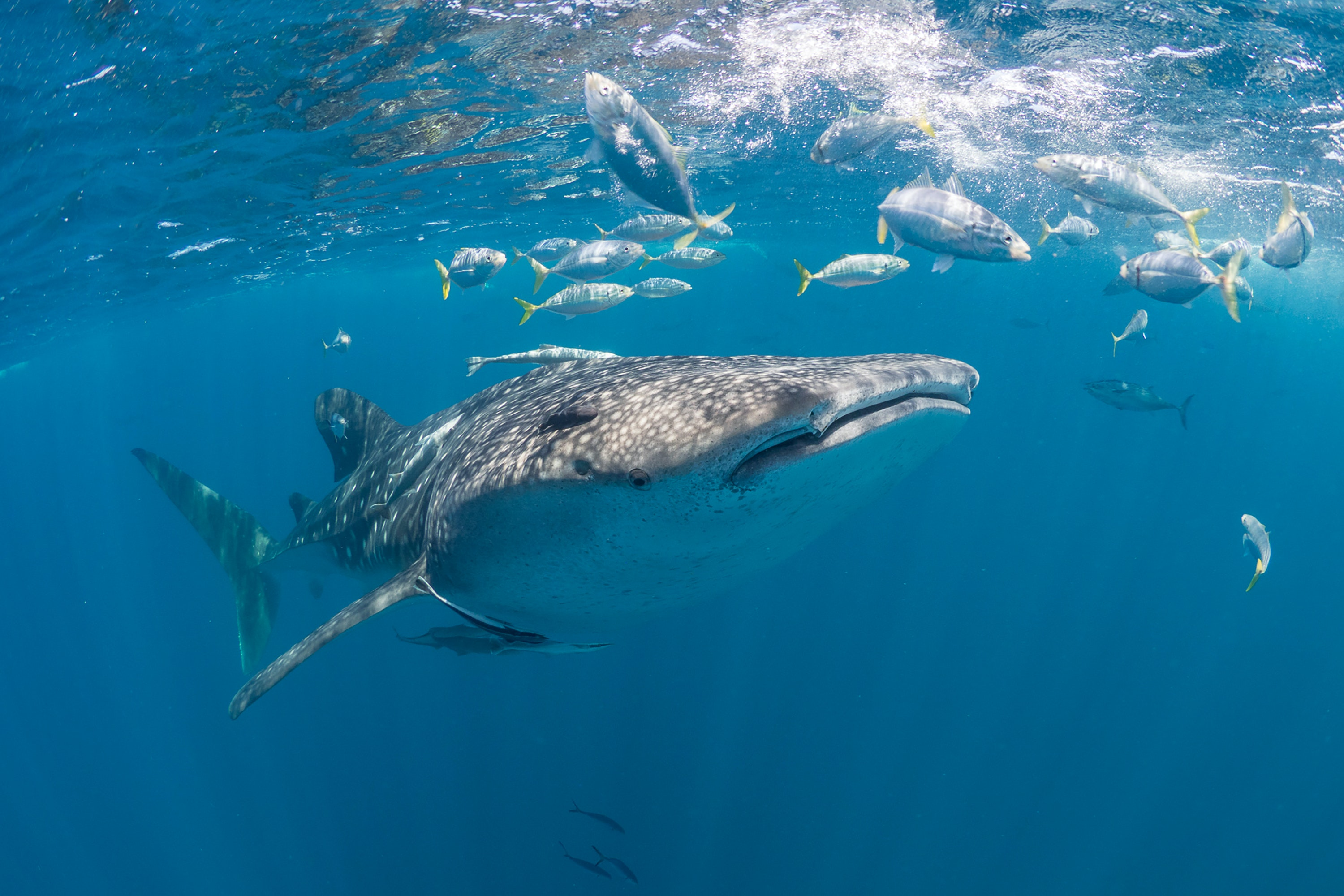 Whale sharks eat plankton and fish eggs and are harmless to humans.