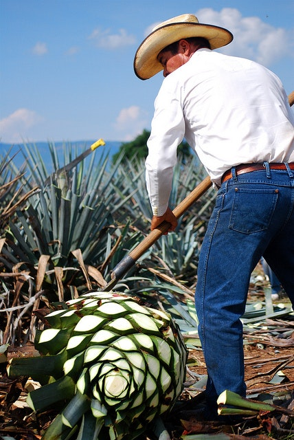 Harvesting an agave plant in Oaxaca.