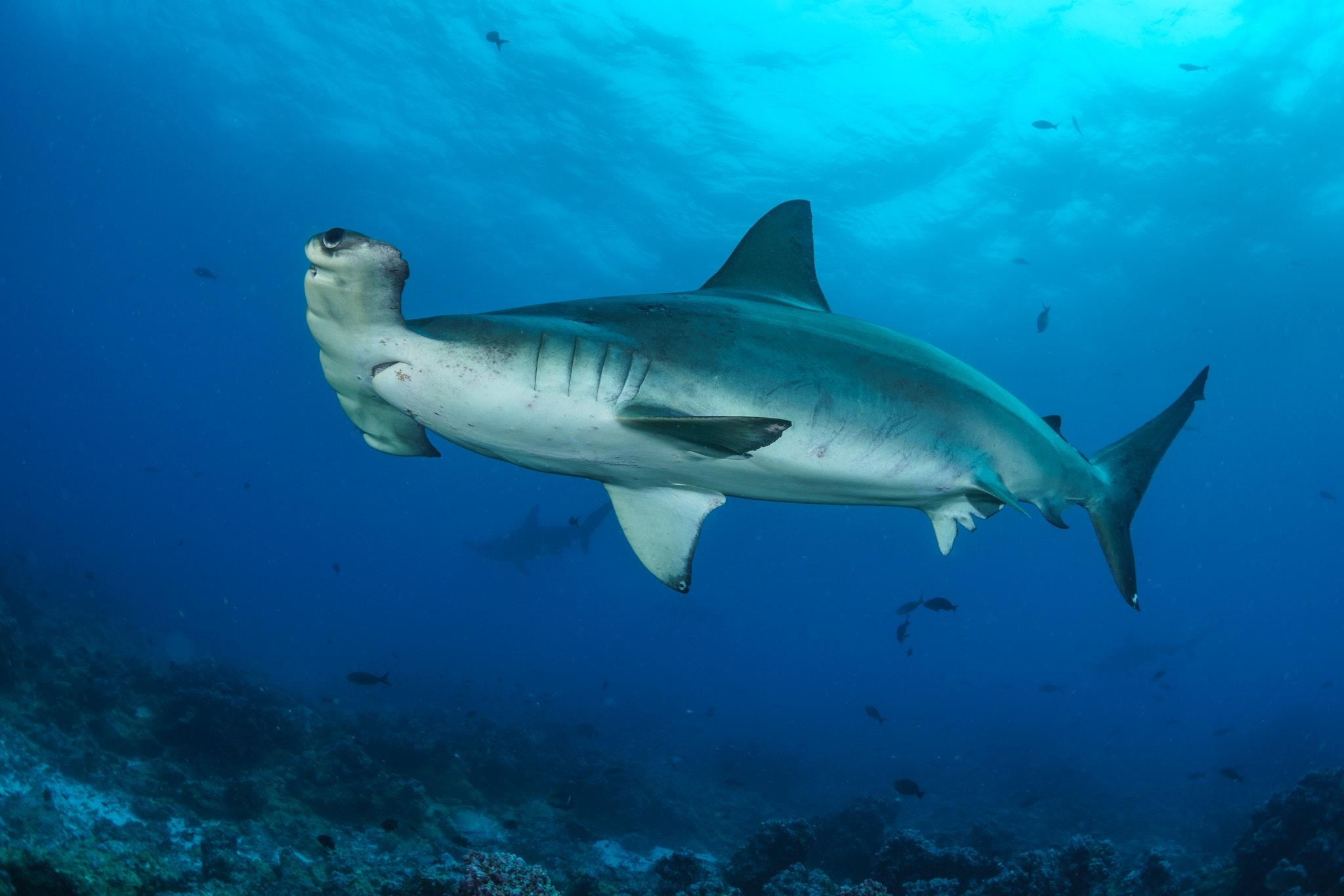 Scalloped hammerhead sharks gather in schools of several hundred in the Galápagos.