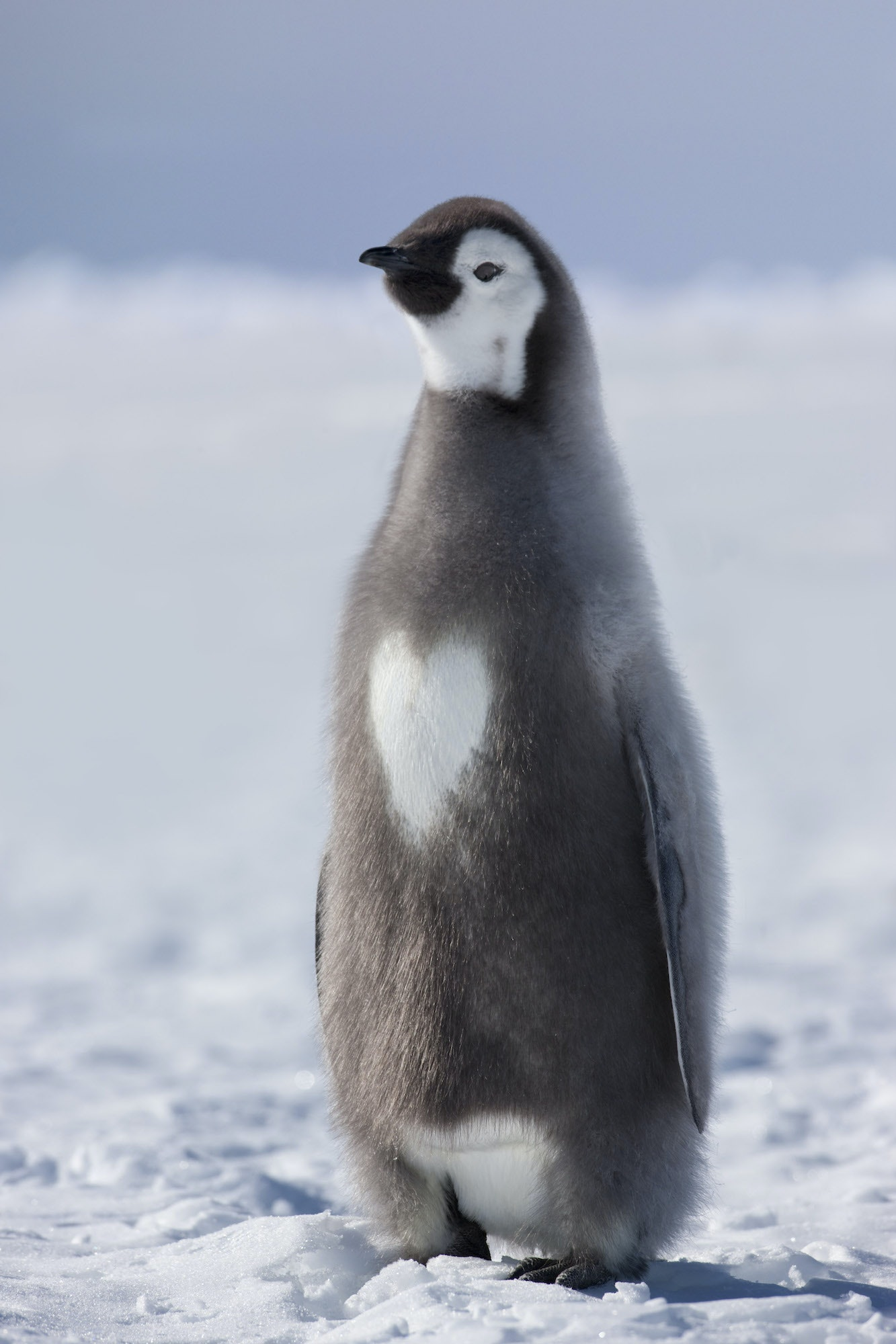 """It's overwhelmingly touching to witness the effort that goes into raising a single emperor penguin chick,"" Flood says."