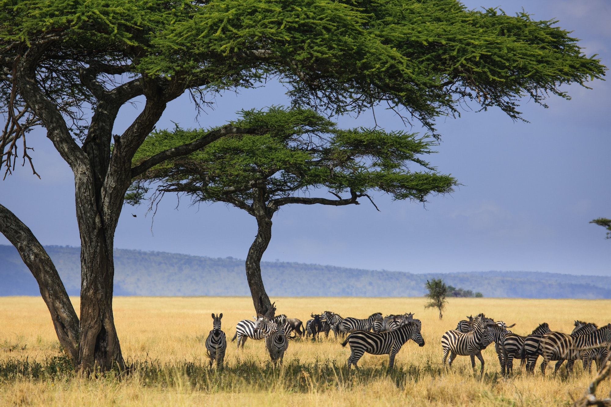 Zebras, wildebeests, and gazelles make annual migrations across Serengeti National Park—followed by their predators.