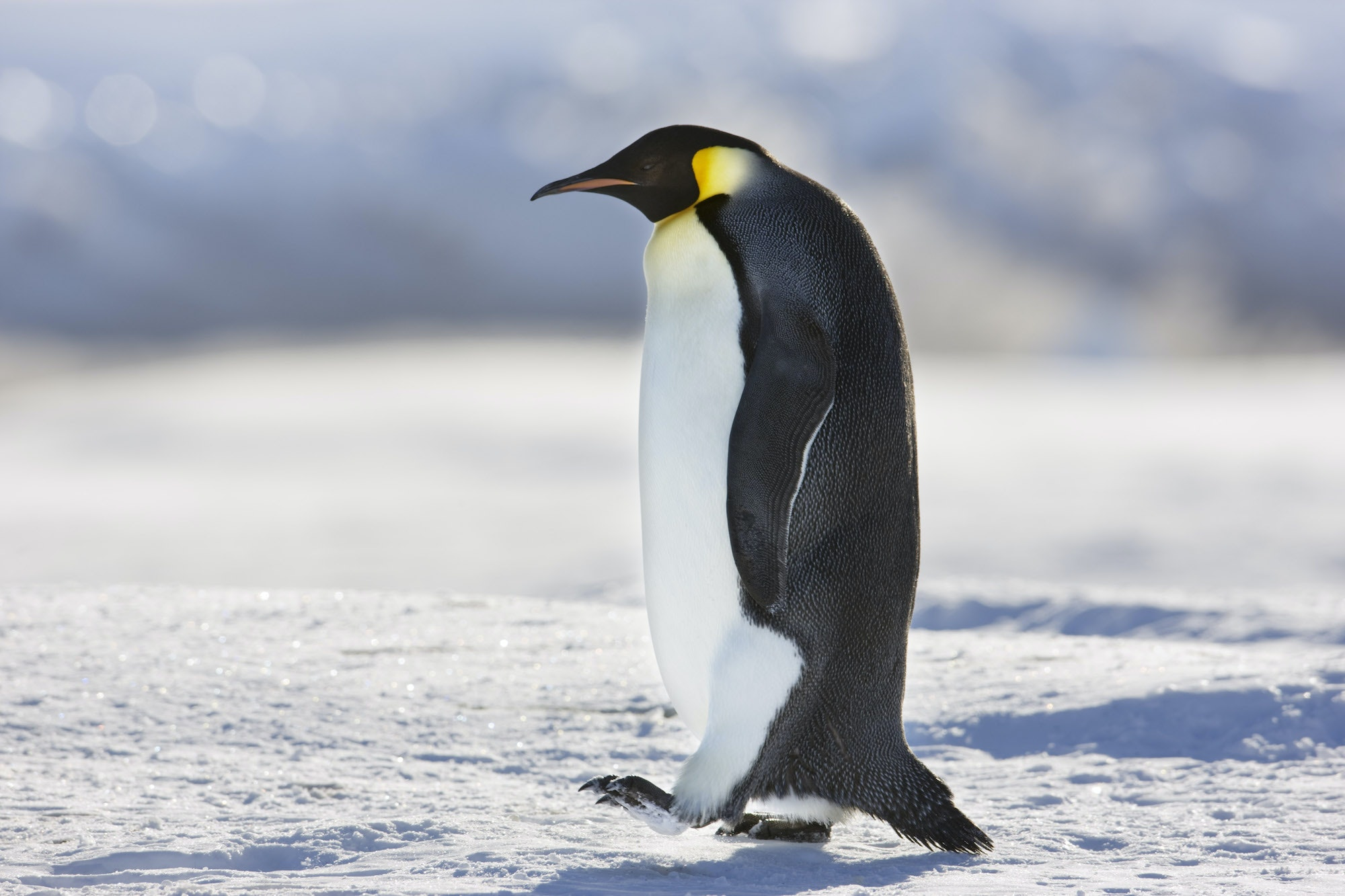 Emperor penguins have special adaptations like large stores of insulating body fat and several layers of scale-like feathers that protect them from icy winds.