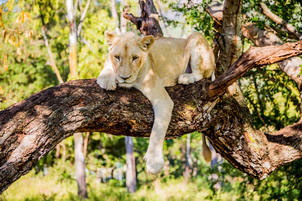 Guests can hang out with lions at Casela Nature Park.