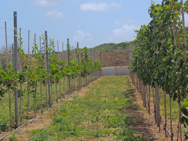 The vines at Curaçao Winery