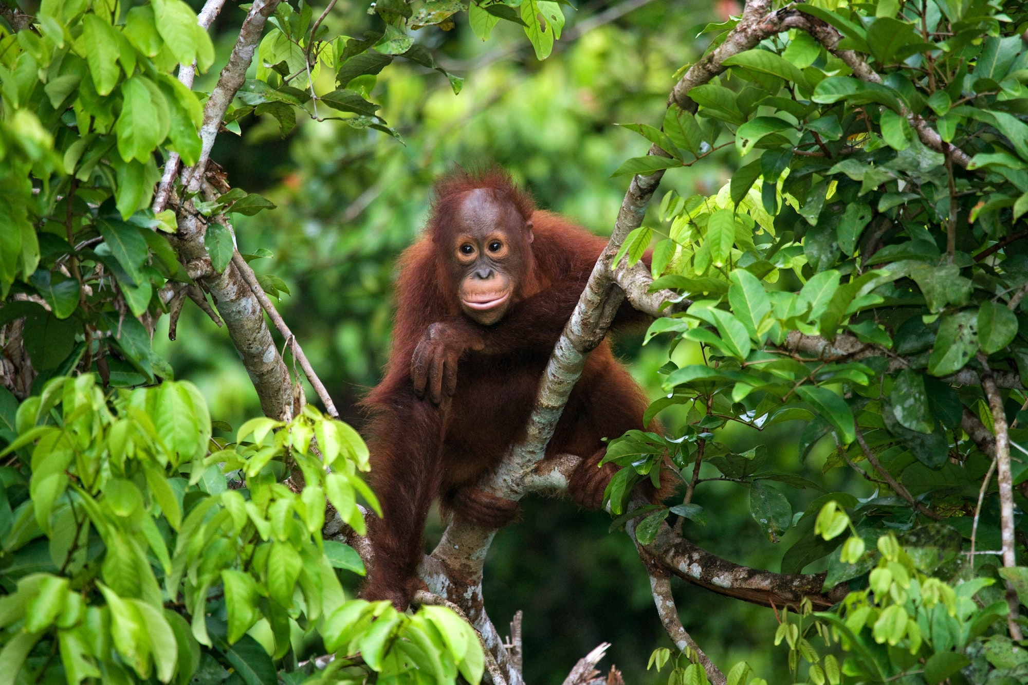 Malaysian Borneo is the third-largest island in the world and the largest in Asia.