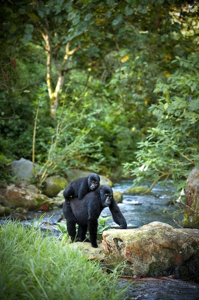 The Bitukura gorilla family calls Uganda's Bwindi Impenetrable National Park home.