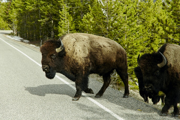 Bison, Yellowstone National Park (Untitled)