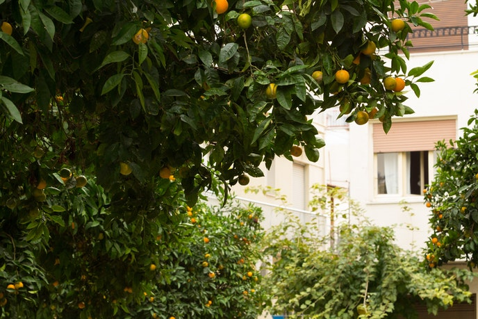 Bitter orange trees line the streets of Athens.