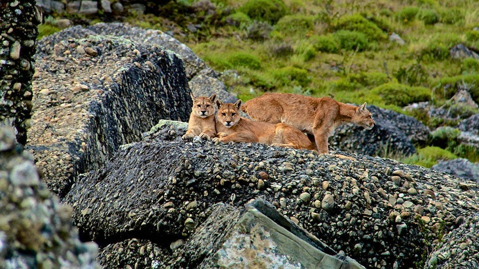 Pumas, also known as cougars or mountain lions, live as far north as the Canadian Yukon and as far south as the Andes.