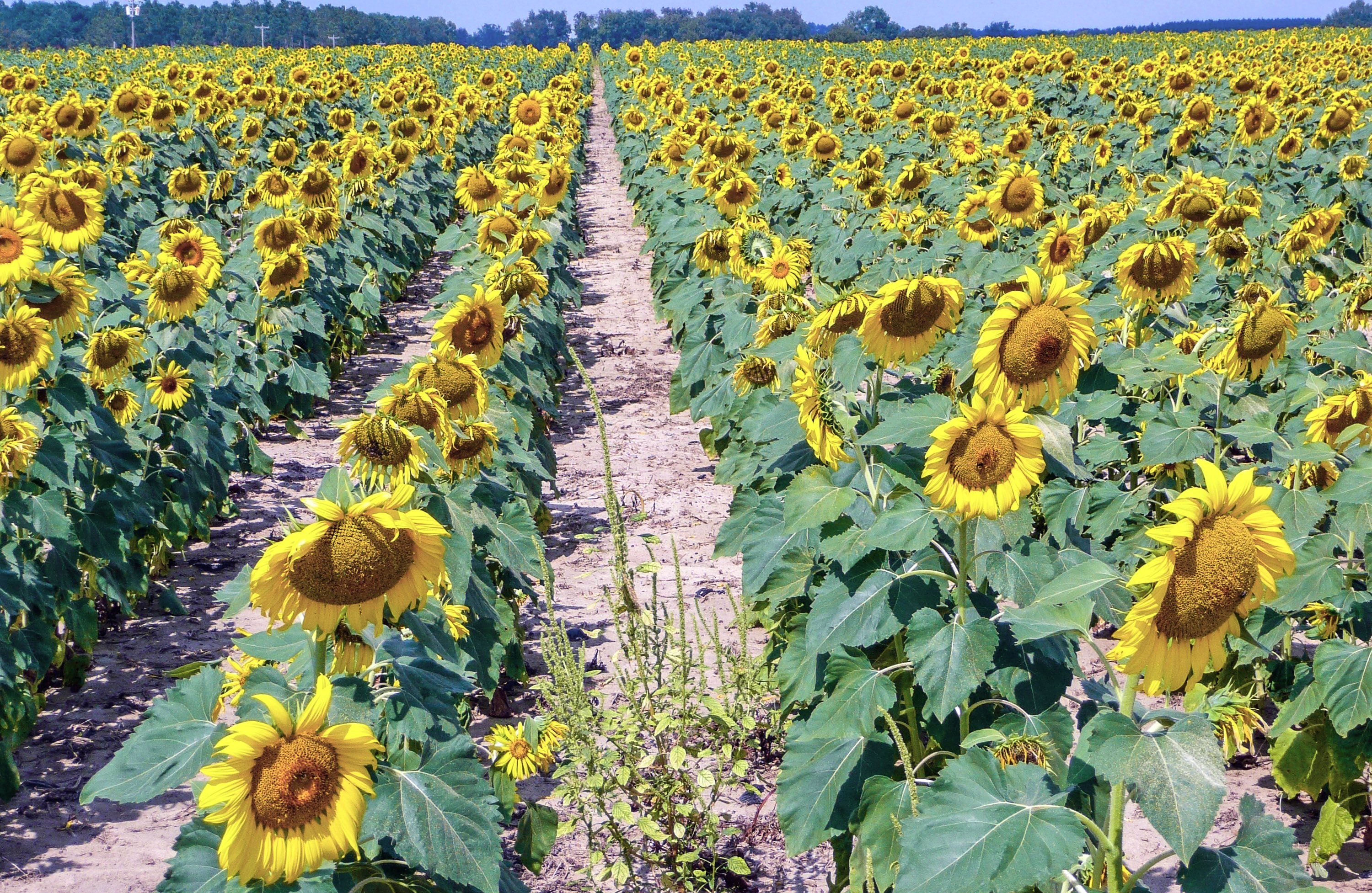 The state of Georgia is home to a number of sunflower farms.