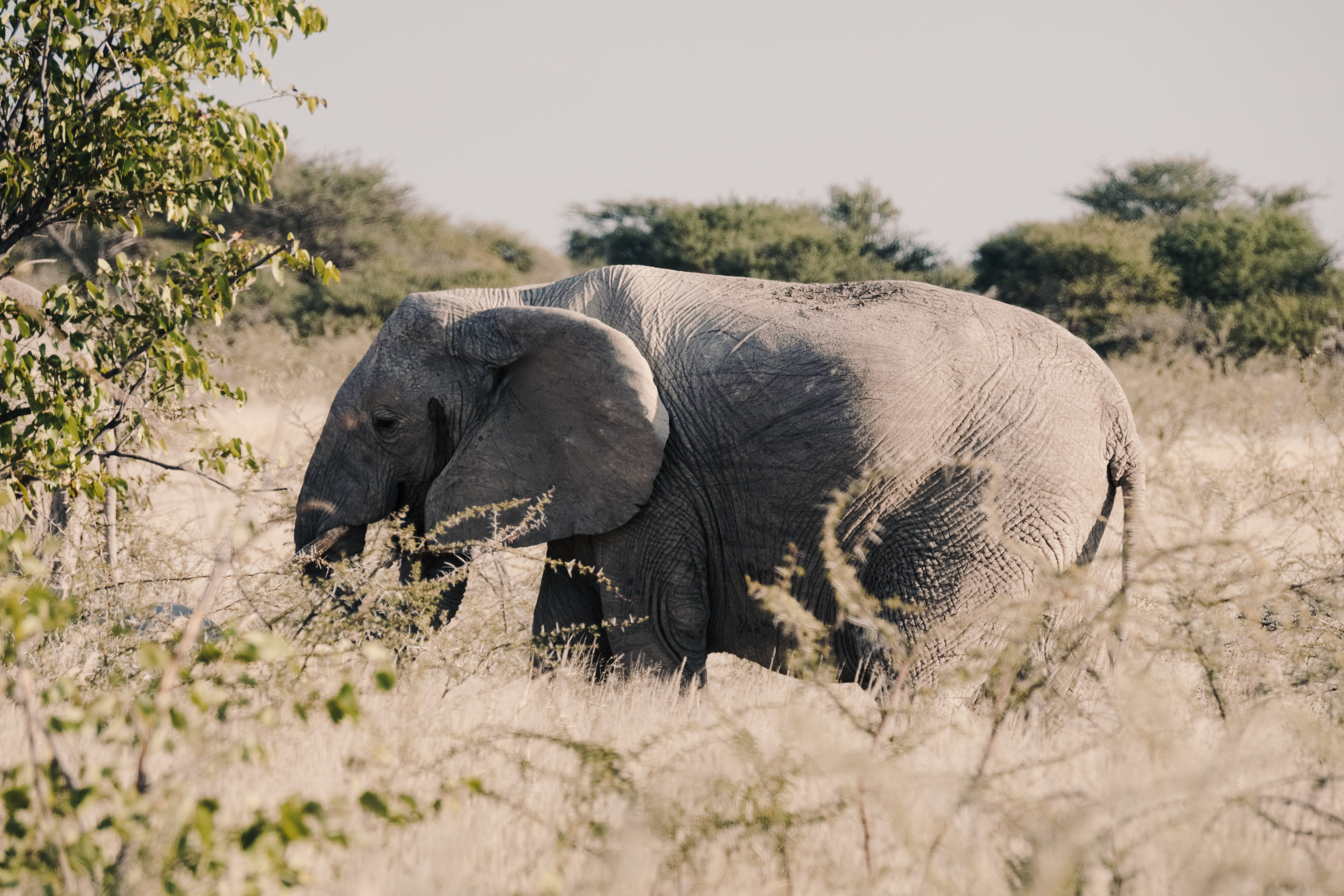 An elephant grazes, its family nearby