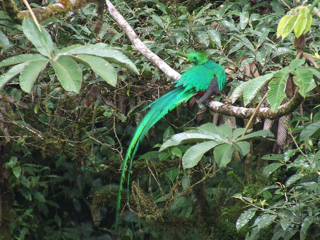 A quetzal at Selvatura Park