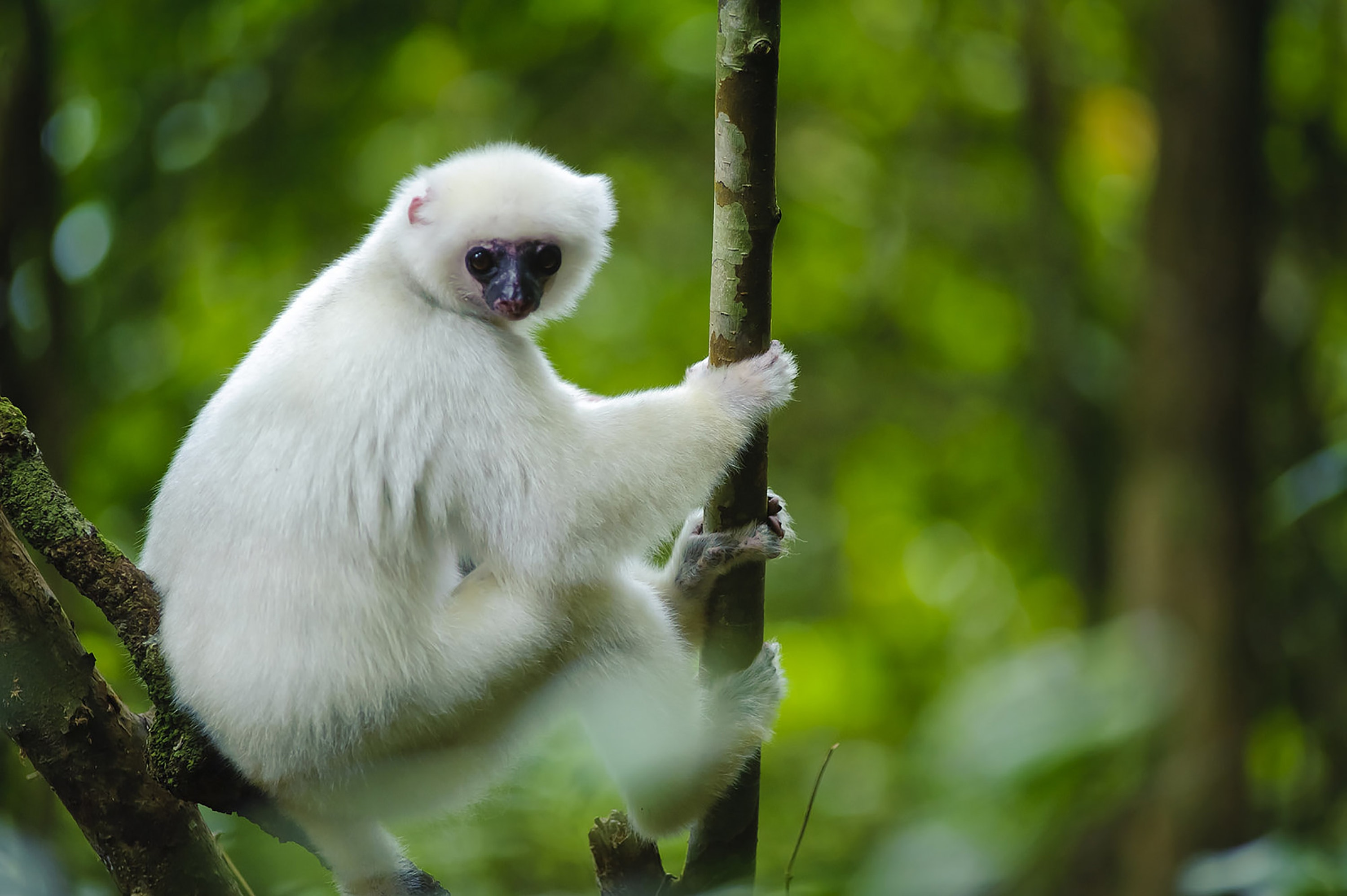Madagascar's biodiversity is astounding; the island is home to many species that exist nowhere else—like the endangered Silky Sifaka lemur.