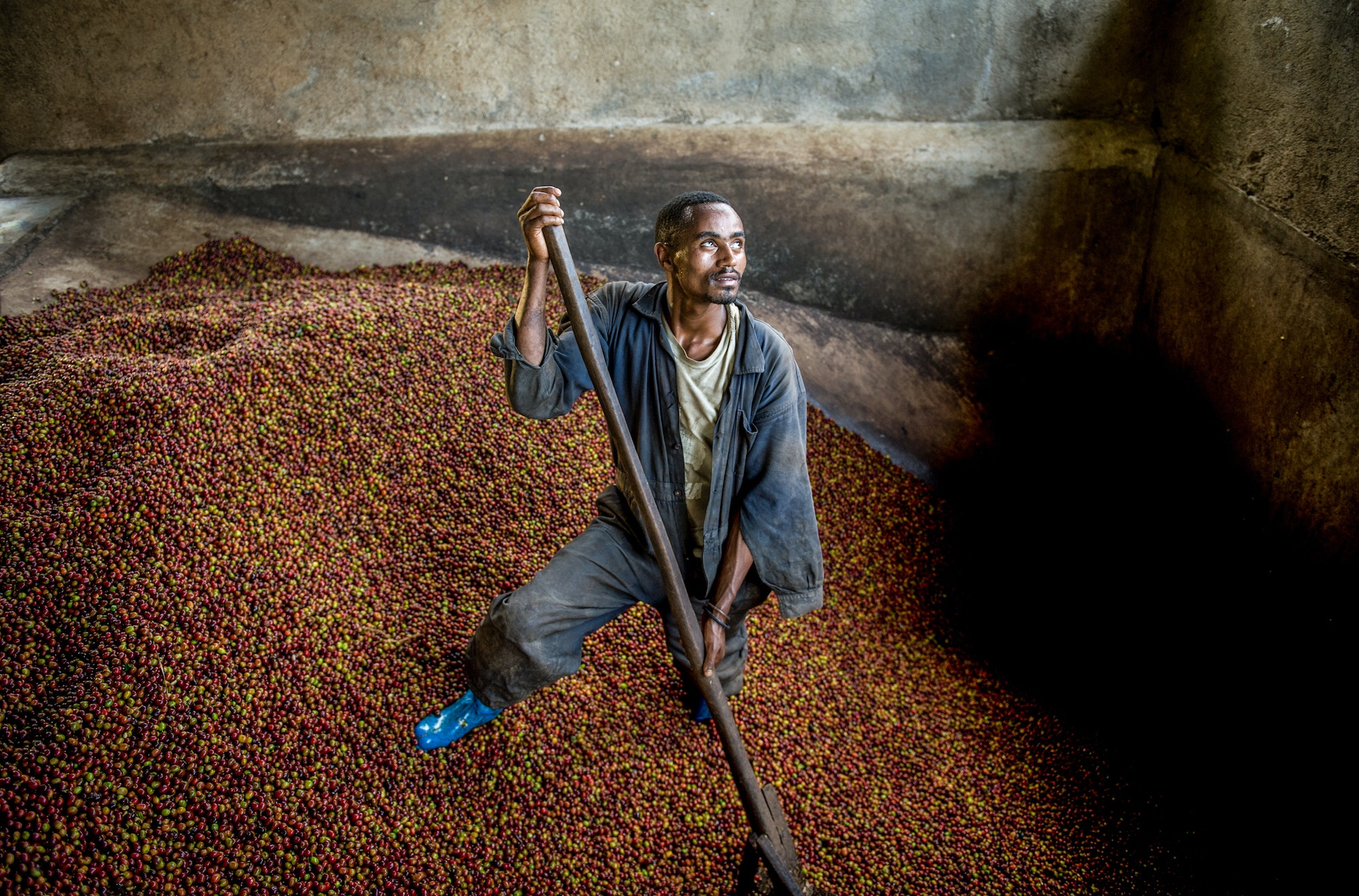 Coffee is critical to Ethiopia's economy, with a large portion of the population depending on its production and sale for livelihood.