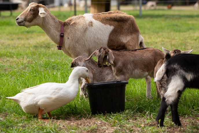 Around 30 goats make up the herd at Burden Creek Dairy in South Carolina.