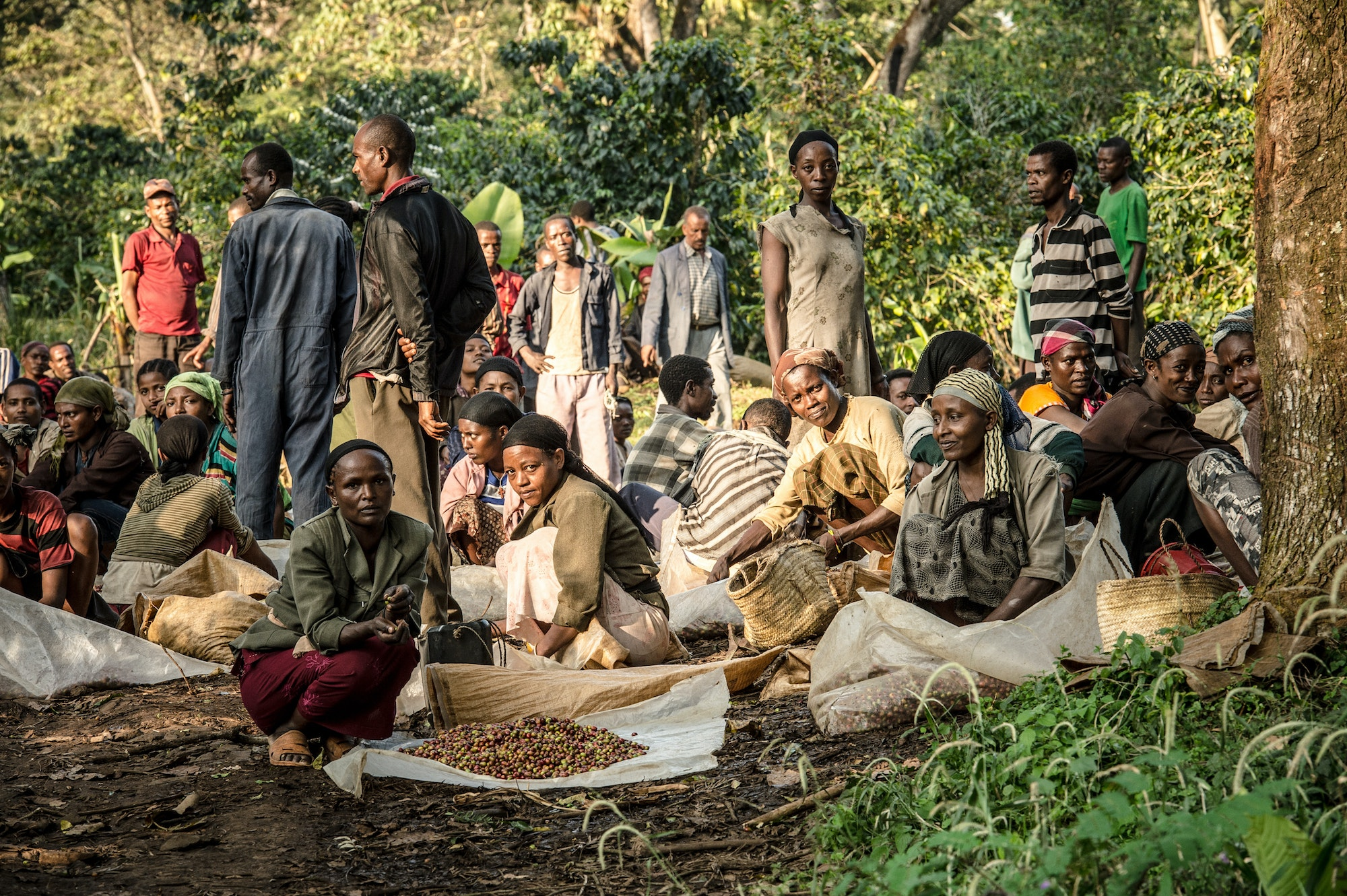 Workers harvest coffee beans at the Teppi Plantation in Kaffa, Ethiopia.