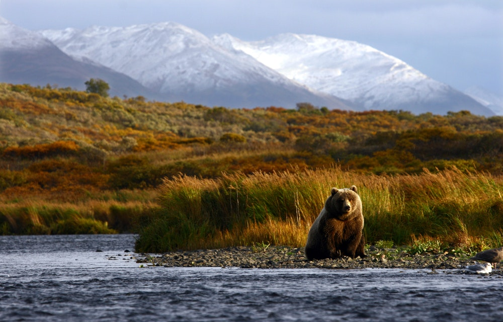 A brown bear fishes in an Alaskan river.