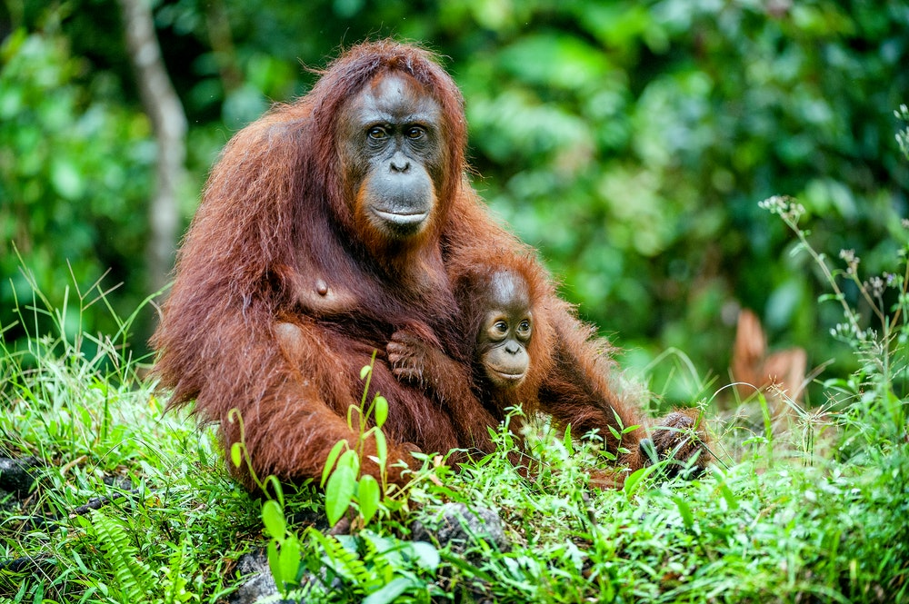 According to the World Wildlife Foundation, fewer than 105,000 Bornean orangutans remain in the world.
