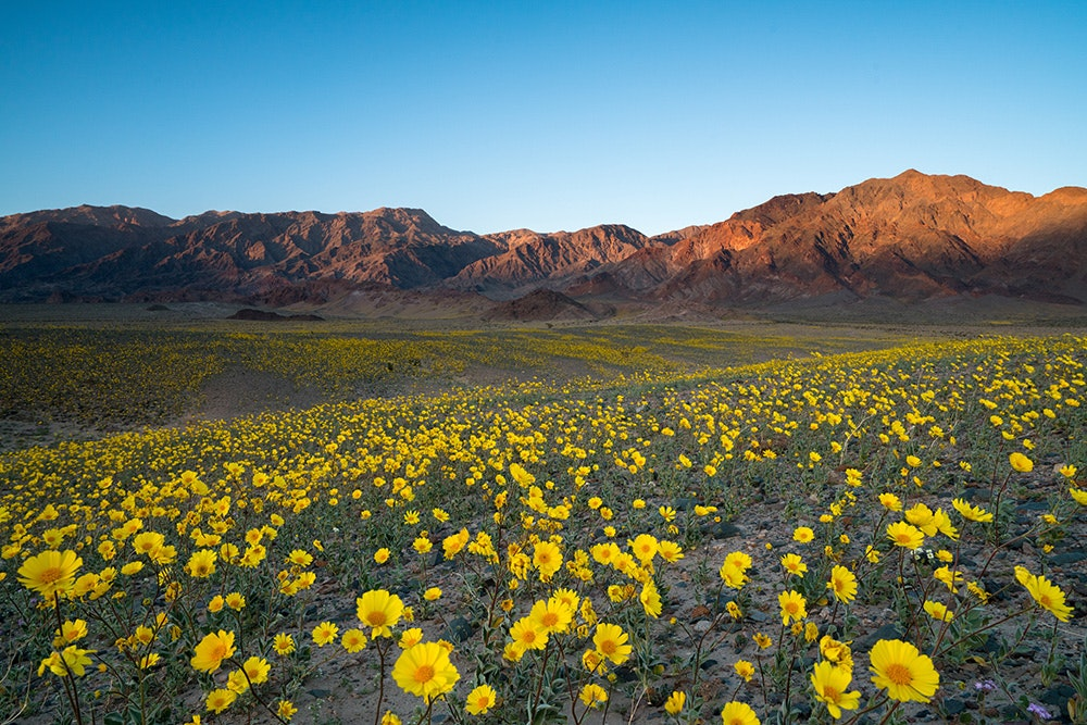 "The best time to see California's wildflowers is during a ""superbloom"" in Death Valley National Park—but it only happens every 10 to 15 years."