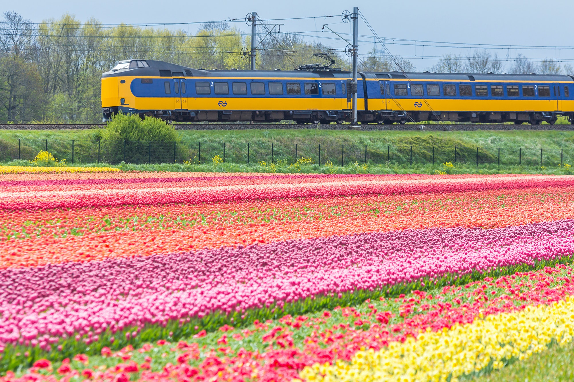 A Dutch Intercity train passes through the tulip fields near Lisse on its way between Haarlem and Leiden.