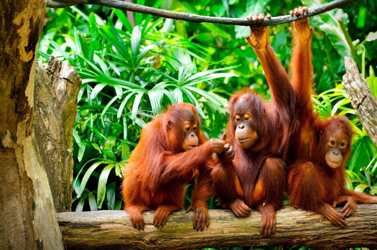 Orangutans only live in the rainforests of Malaysia and Indonesia.