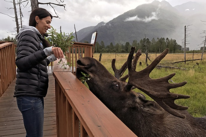 Yes, you can actually feed moose at the Alaska Wildlife Conservation Center.