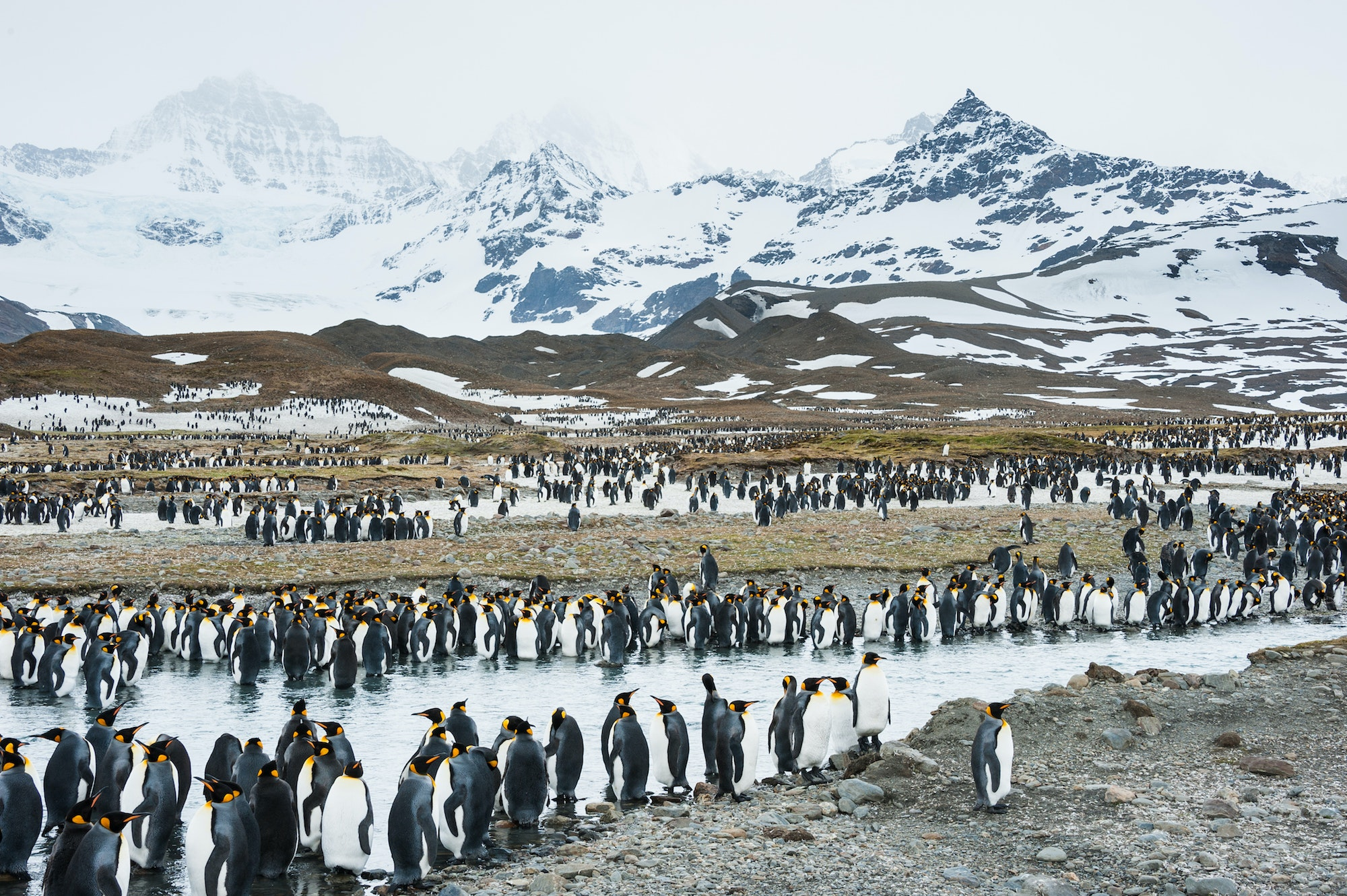 King penguins gather on the island of South Georgia (near Antarctica) to feed their newborn chicks.