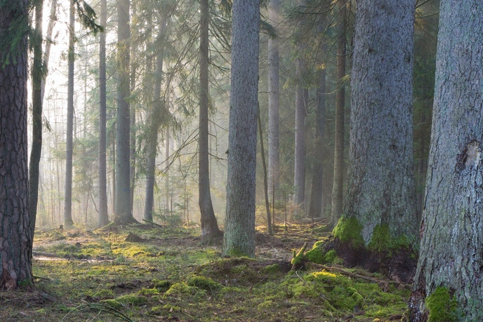 Coniferous trees in Bialowieza Forest, Poland