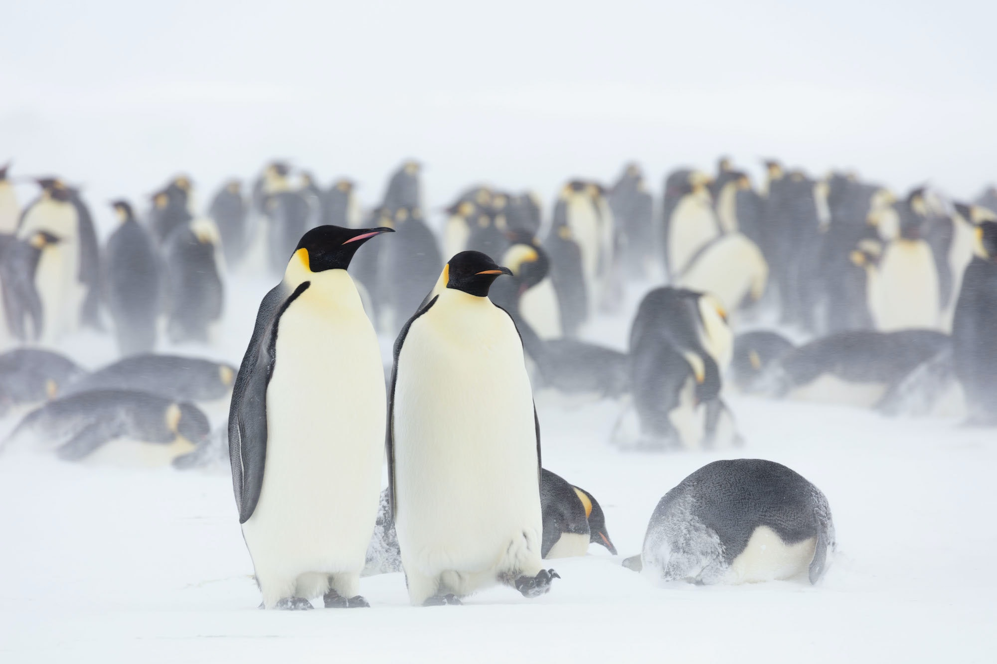 Emperor penguins leave the colony for months at a time and travel long distances across ice to find nourishment to feed their young.