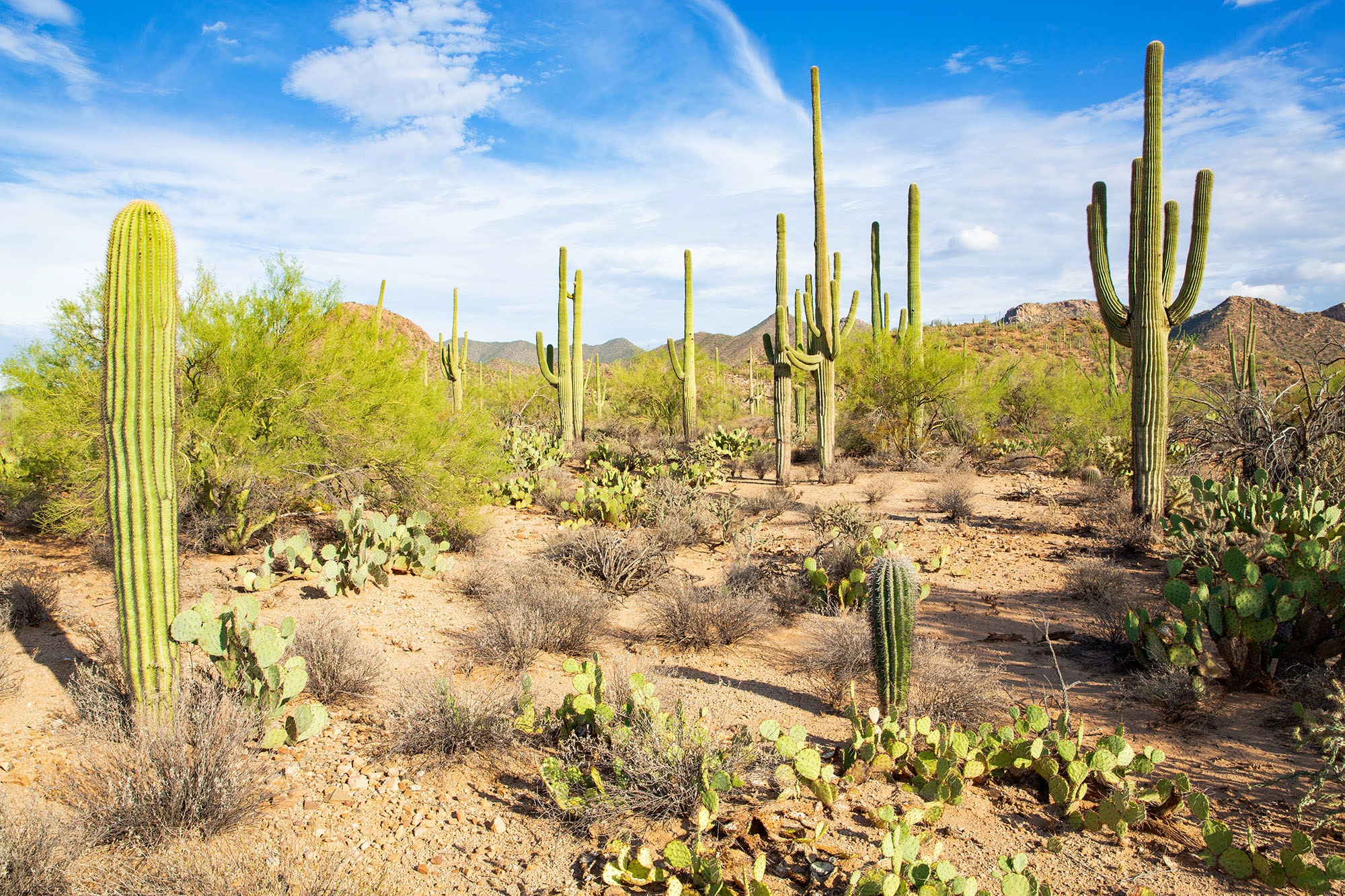 The iconic, long-armed cacti at Saguaro National Park only grow in the Sonoran desert.