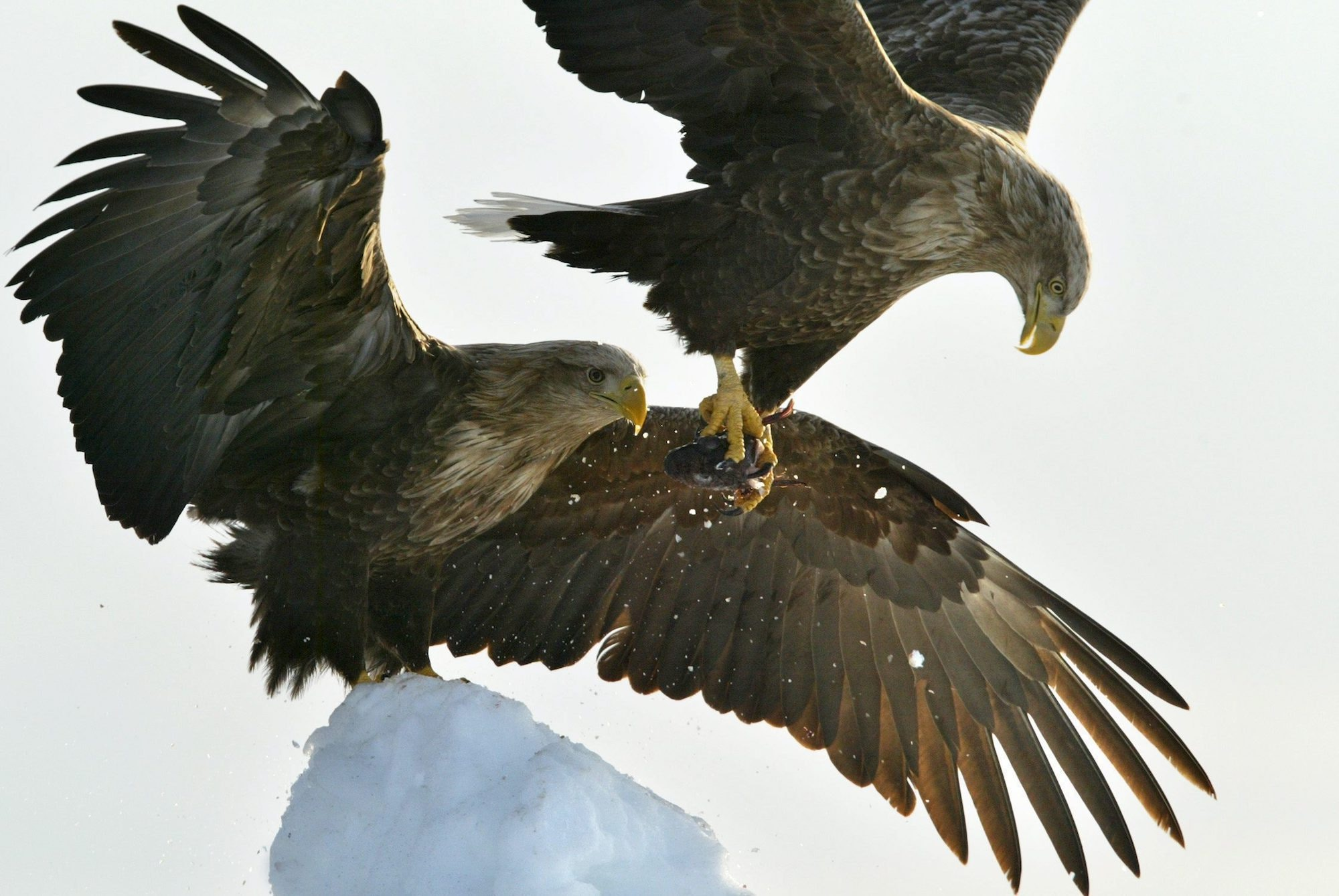 White-tailed sea eagles are the fourth largest eagles in the world. A number of these birds find shelter on Japan's UNESCO-listed Shiretoko peninsula.