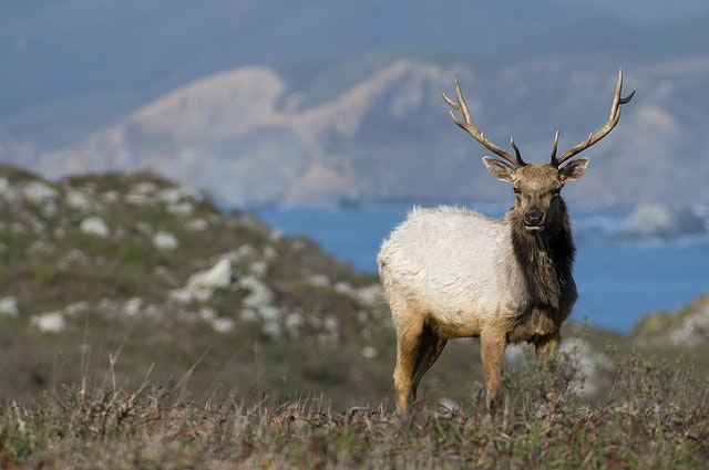 Tule elk at Point Reyes, near Tomales Bay
