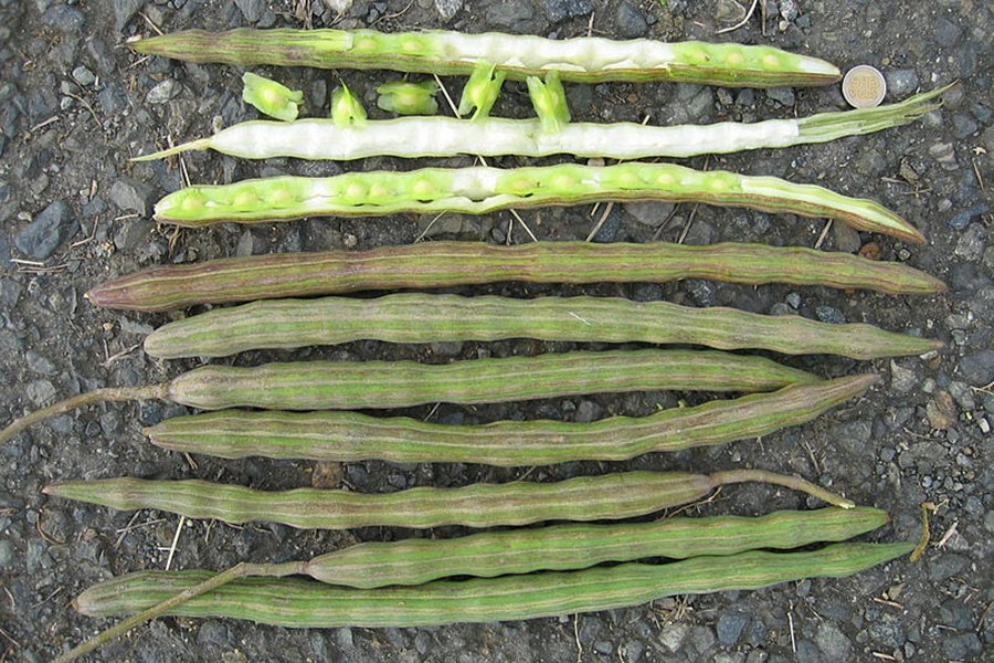 """Moringa pods look like drumsticks, giving the plant the nickname """"drumstick tree."""""""