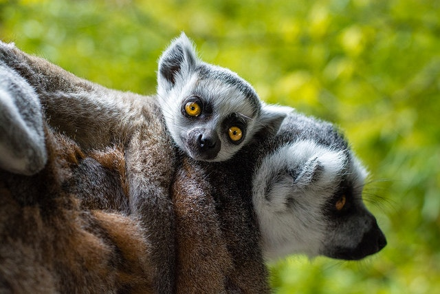 There are 33 species of lemurs in Madagascar.