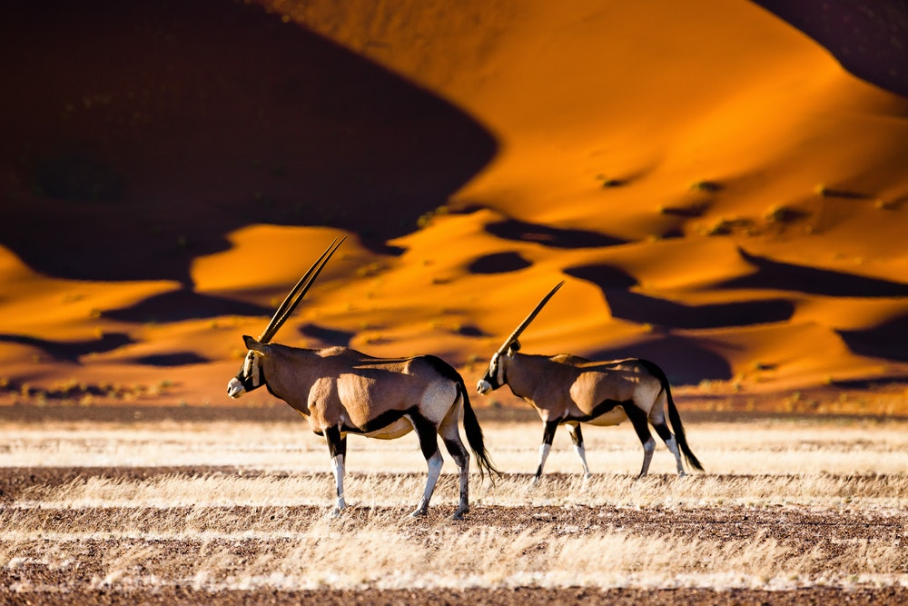 Oryx near the dunes of Namibia