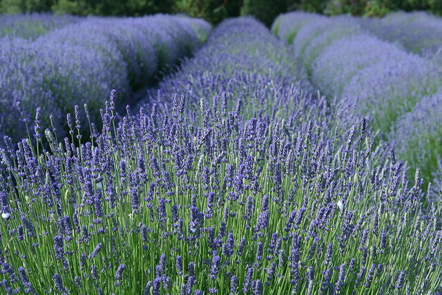 Check out the Lavendar Festival & Summer Arts July 16-17.