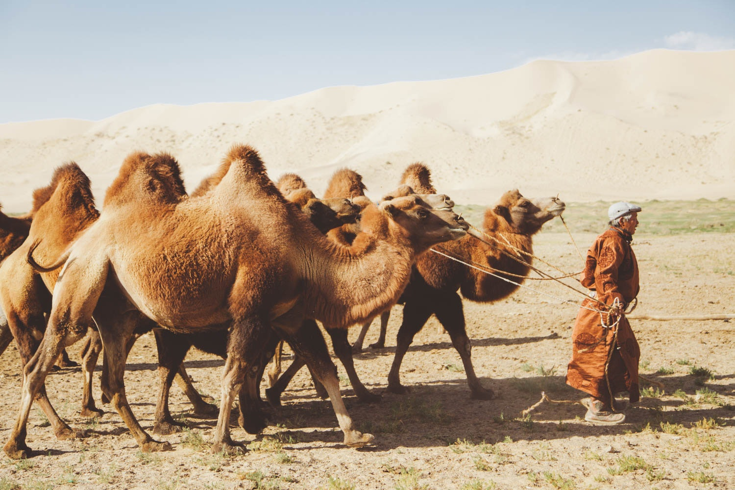 A cluster of camels at the Khongor Dunes