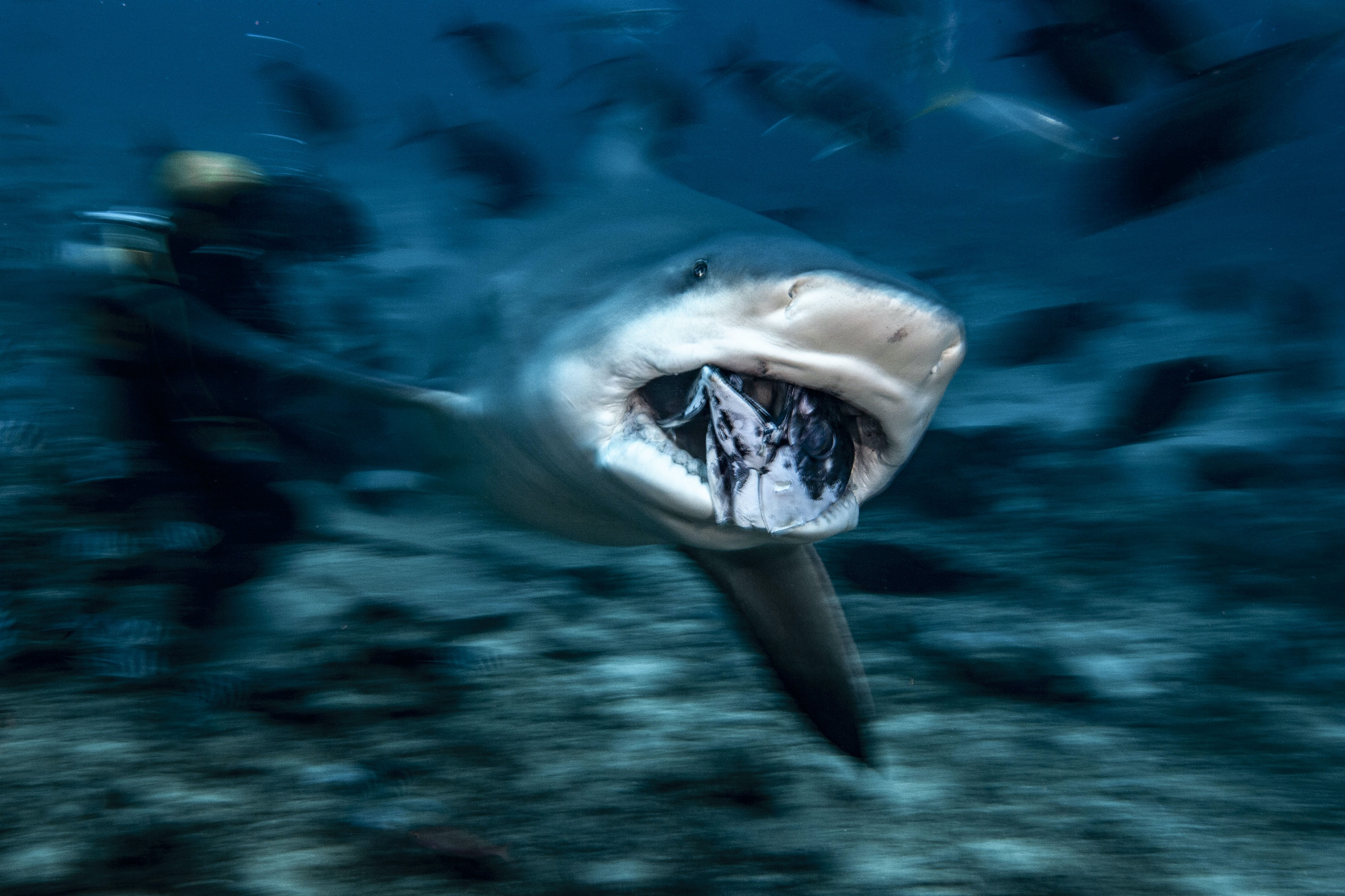 Dive with bull sharks in the diverse ecosystem of Shark Reef Marine Reserve in Fiji.