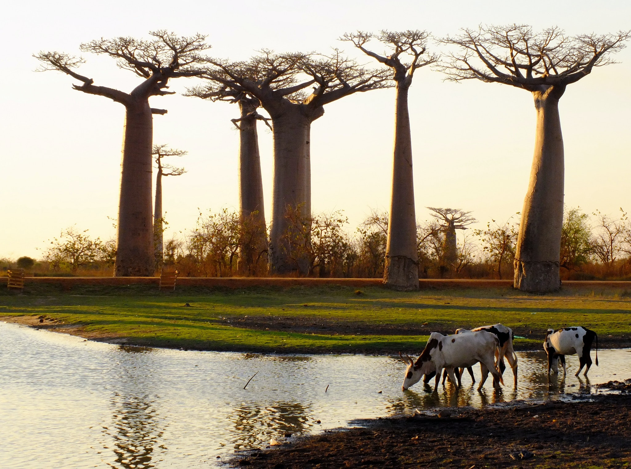The Avenue of the Baobabs in Madagascar
