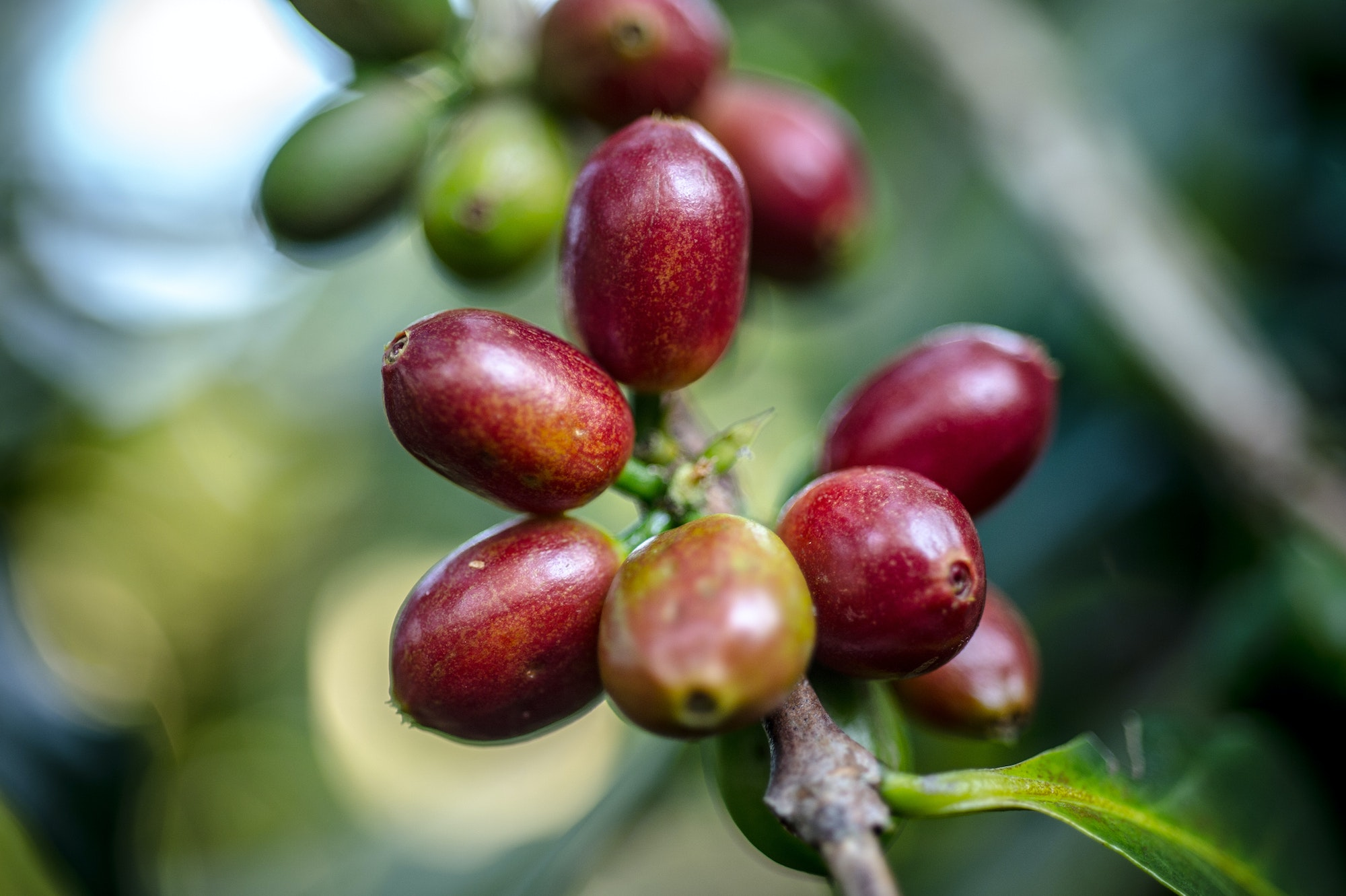 "The region's name Kaffa is thought to come from the Arabic word ""qahwah,"" meaning coffee.  The English word for coffee is derived from the same root."