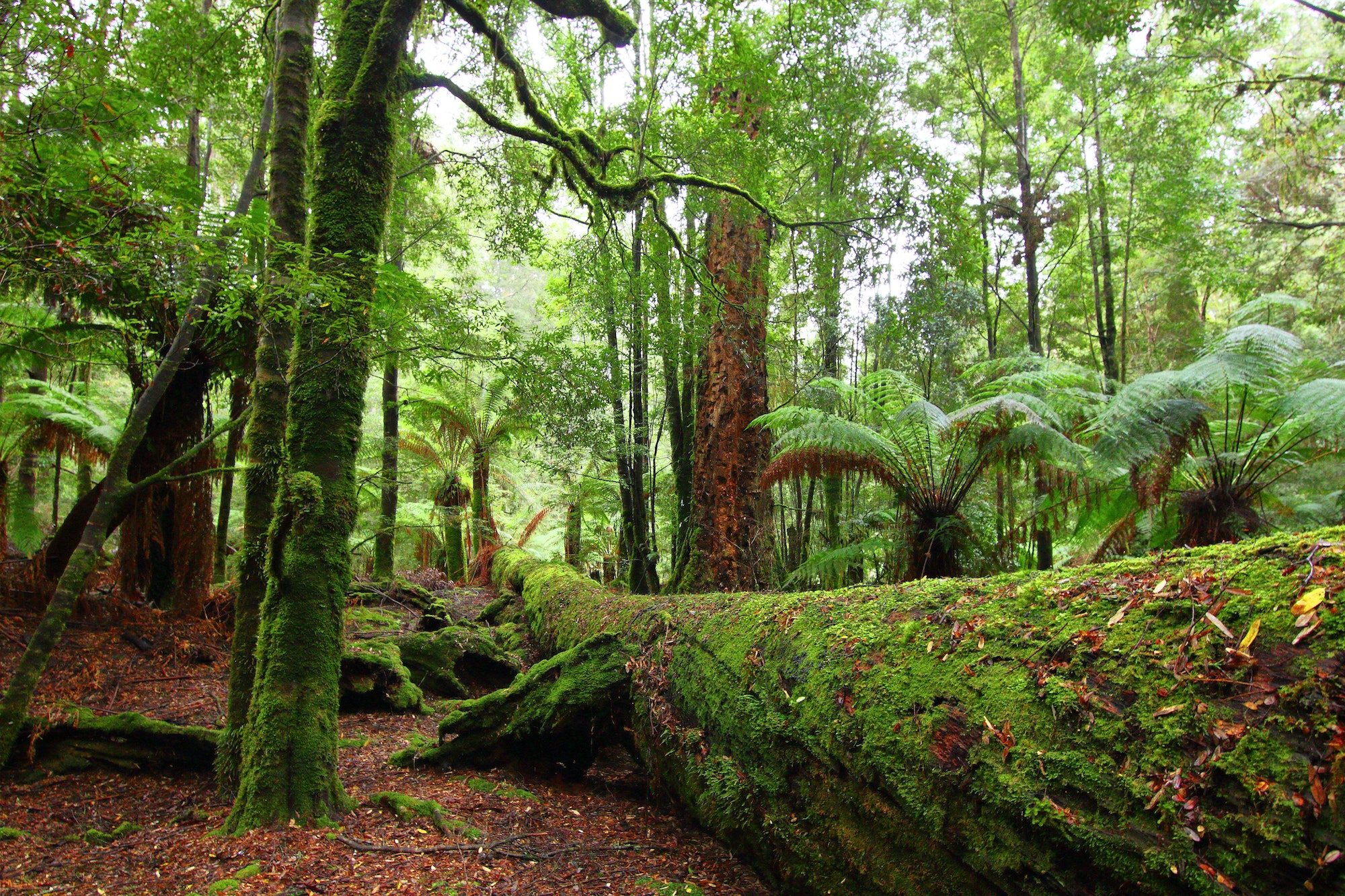 The Tarkine temperate rain forest in Tasmania, Australia
