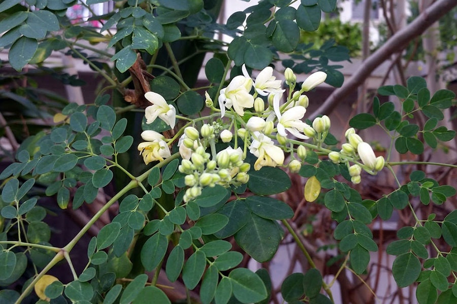 Moringa flowers—good-looking and good for you