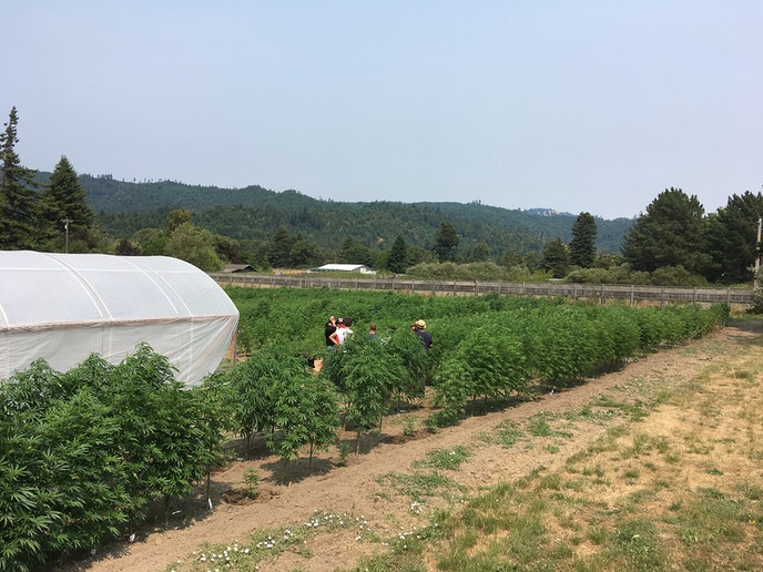 Learn about cannabis in the heart of Northern California growing country on an outing with Humboldt Cannabis Tours.
