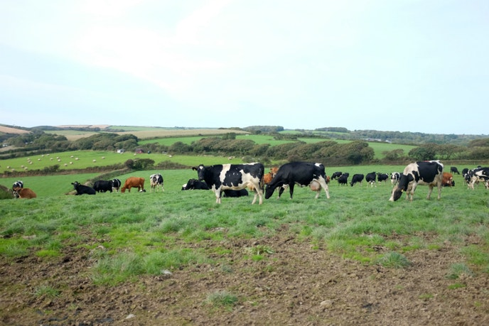 Sample clotted-cream ice cream, straight from the source, at Callestick Farm, outside of Truro.