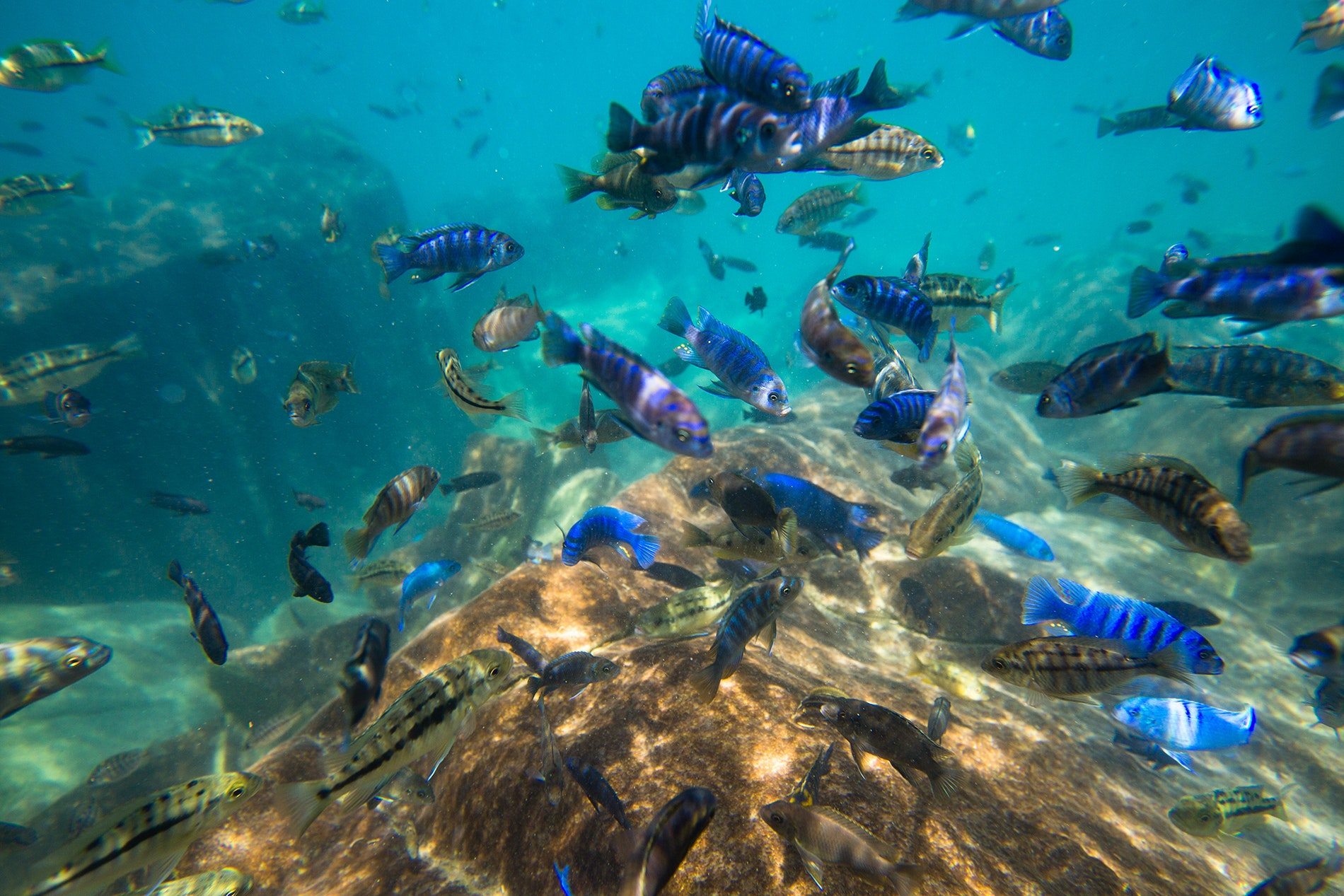 The 1,000 subspecies of African cichlid in Lake Malawi are all distinct, but the Blue Zebra is the most recognizable.