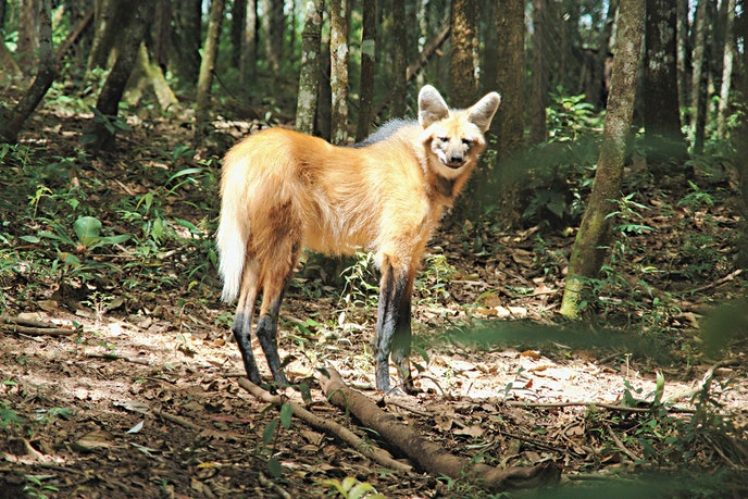 The hotel's conservation center is home to a maned wolf.